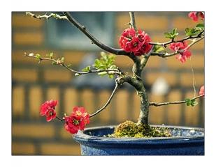 zierquitte-bonsai.jpg