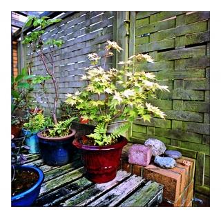 bonsai_0