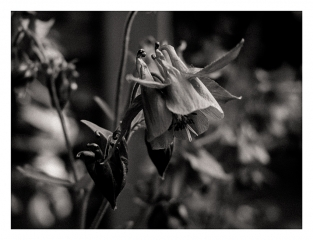 fleur-du-male
