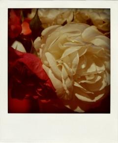 rosenpola